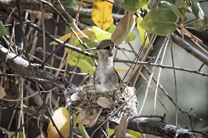 A female hummingbird on her nest.