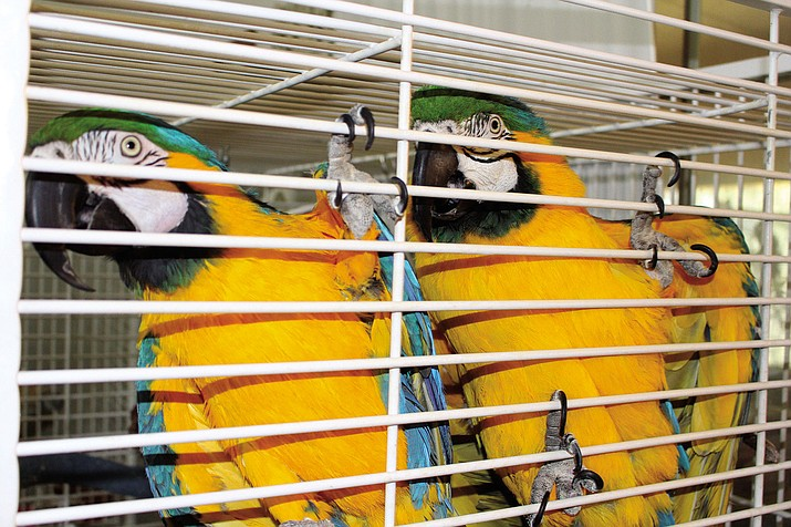 A couple of blue and gold macaws grab onto their cage for a closer look at a visitor at Bird Haven Rescue and Sanctuary Haven.