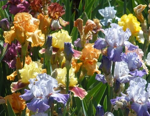 Prescott Iris Society's Festival of Iris is Saturday, May 6, from 10 a.m. to 3 p.m. at at Mortimer Nursery, 3166 Willow Creek Road.