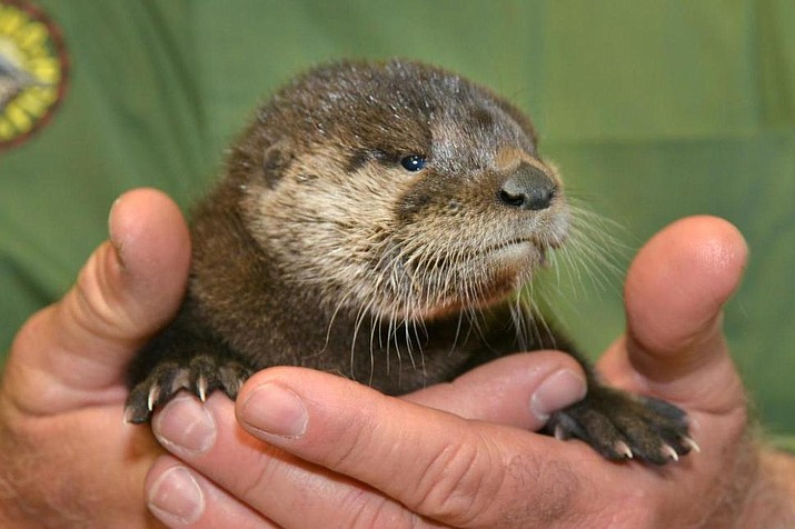 In this April 20, 2017, photo provided by the Arizona Game and Fish Department shows a rescued otter at the Adobe Mountain Wildlife Center in Phoenix, Arizona. The otter was described as dehydrated, hungry and infested with fleas when rescued.