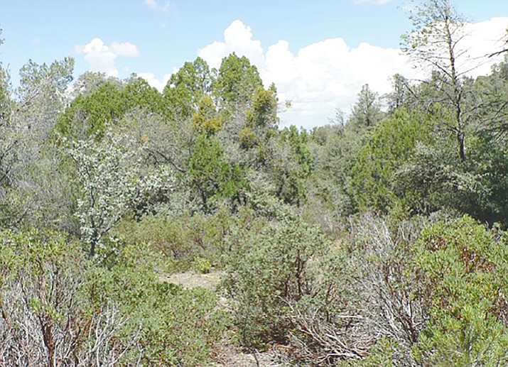 Dense interior chaparral, prior to any defensible space treatment. (Courtesy photo)