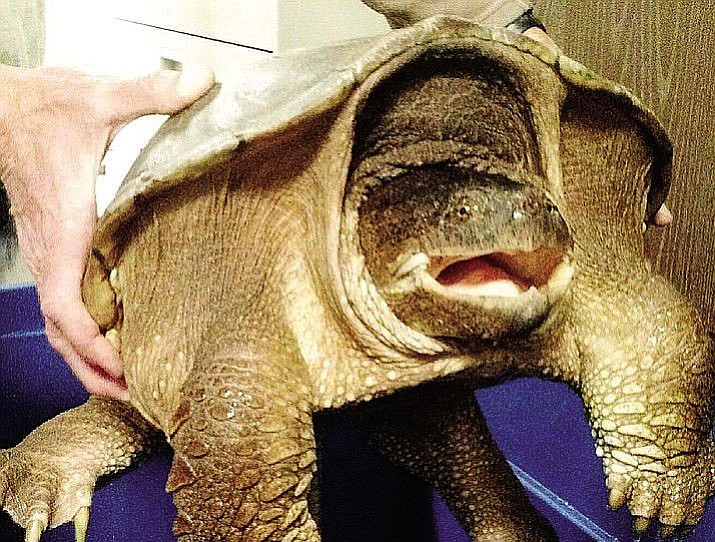 A USGS staff member holds a 40-pound snapper turtle recently found at Montezuma Well National Monument.