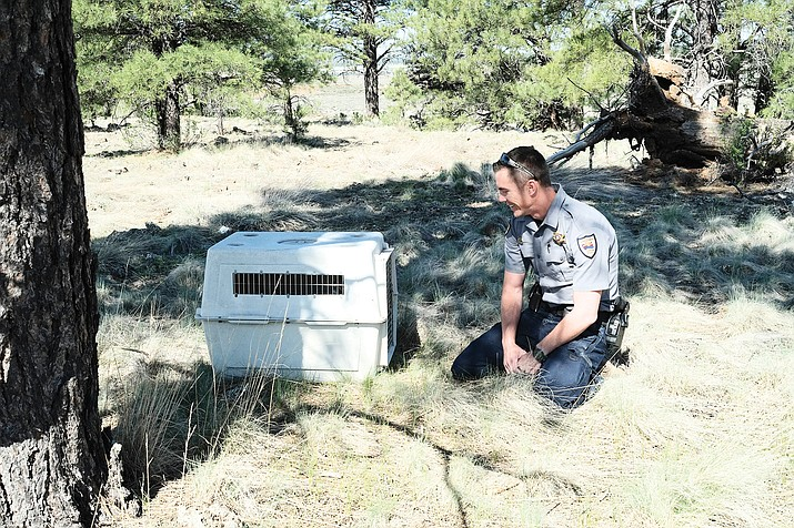 Arizona Game and Fish officer William Lemon prepares to release a rehabilitated badger into the forest in Bellemont.