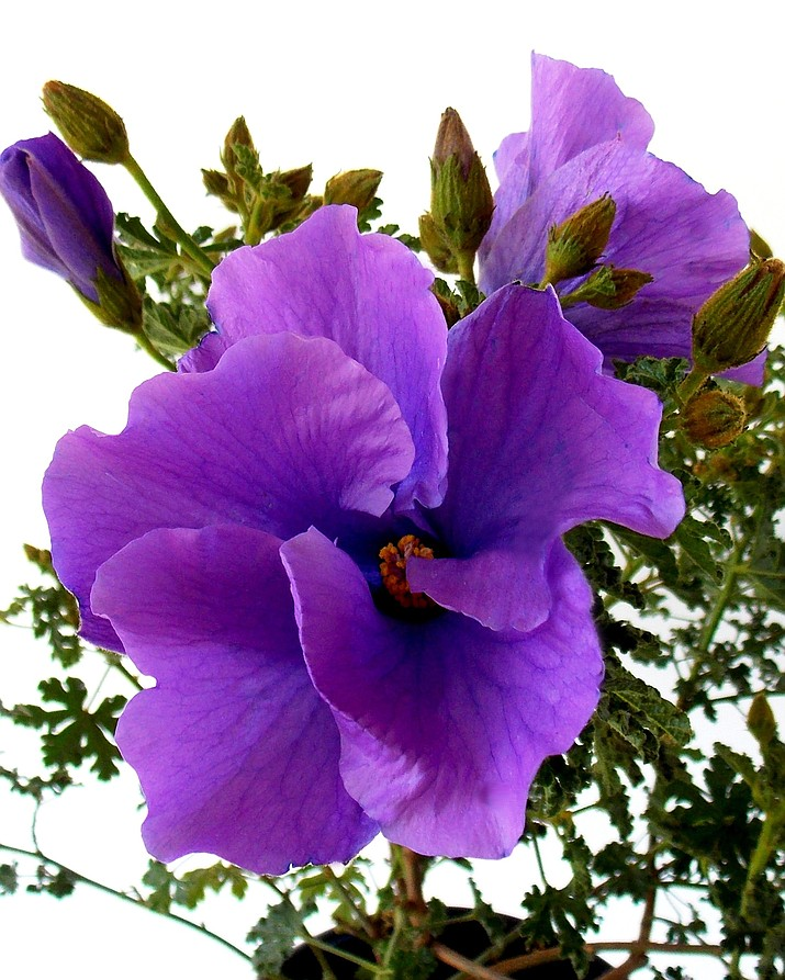 This undated photo provided by The Home Depot shows blue hibiscus, or Alyogyne, which is a good option to grow if you want to harvest a rich purple dye. Planting natural dye gardens is becoming a popular pursuit for those with green thumbs, as well as artists who work in various mediums. (The Home Depot via AP)
