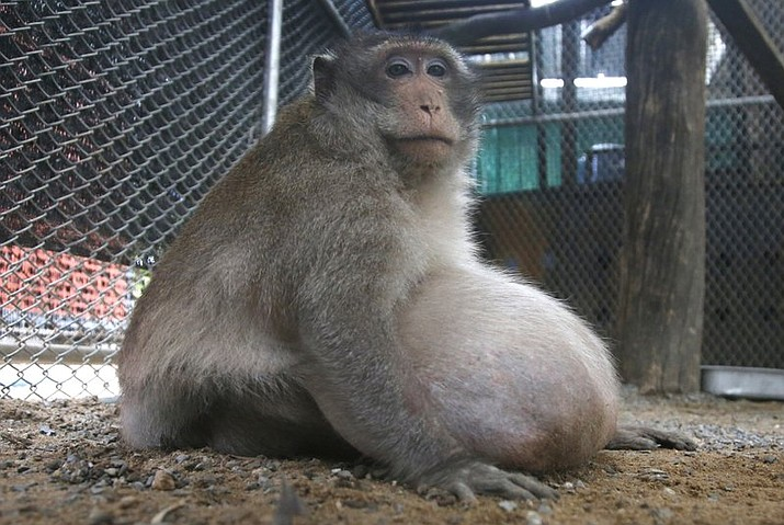 "A wild obese macaque, named ""Uncle Fat"" who was rescued from a Bangkok suburb, sits in a rehabilitation center in Bangkok, Thailand, Friday, May 19, 2017. The morbidly obese wild monkey, who gorged himself on junk food and soda from tourists, has been rescued and placed on a strict diet. (AP Photo/Sakchai Lalit)"