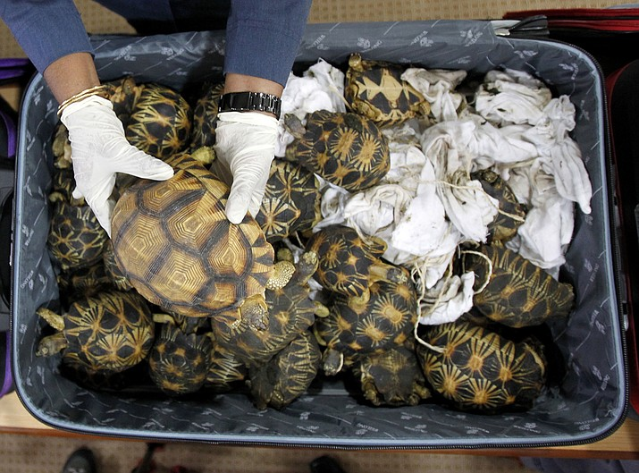 A Malaysian Customs official hold seized tortoise after a press conference at Customs office in Sepang, Malaysia, Malaysia on Monday, May 15, 2017. Malaysian authorities say they have seized 330 exotic tortoises from Madagascar worth 1.2 million ringgit ($276,721) in the latest heist of illegal wildlife and animal parts being smuggled into the country. (AP Photo/Daniel Chan)
