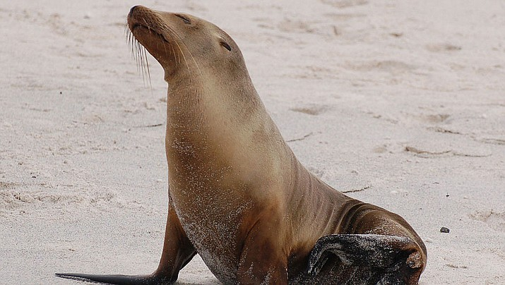 A sea lion like this one pictured dragged a girl off a dock and into the water in British Columbia.