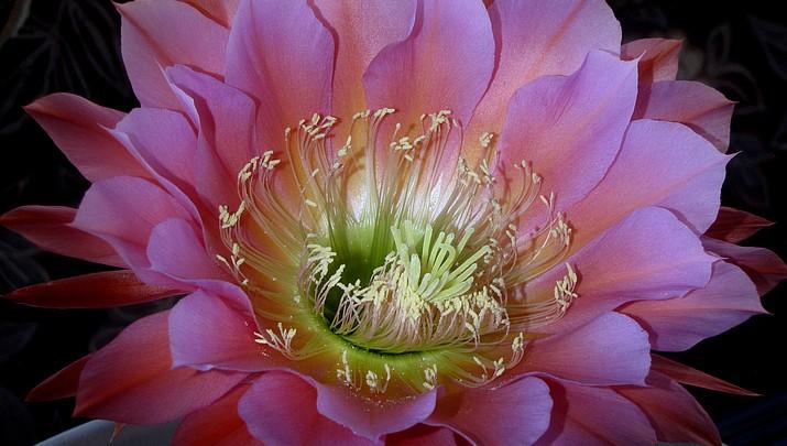 Western Light: Cactus Flower