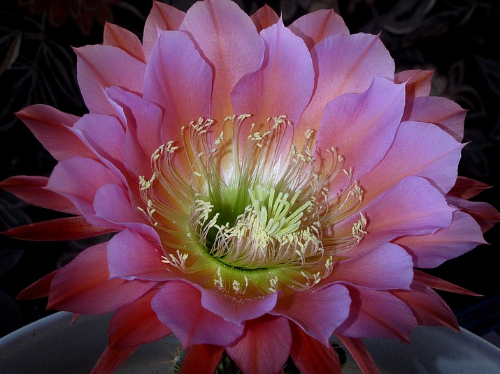 Hybrid trichocereus cactus flower Flying Saucer by night.