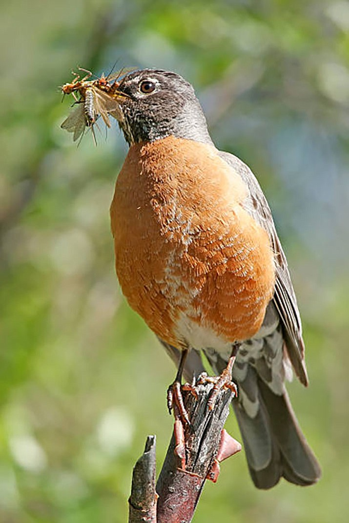 An American Robin carries a bunch of insects in its beak to feed its babies. (Courtesy photo)