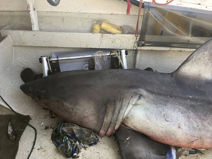 A 9-foot great white shark lays on the deck of a fishing boat at Evans Head, Australia. Fisherman Terry Selwood said Monday, May 29, that he was left with a badly bruised and bleeding right arm where the airborne shark struck him with a pectoral fin as it landed on him on the deck. (Lance Fountain via AP)