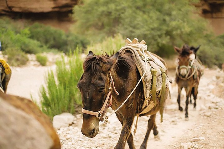 SAVE is fighting for the well-being of these Havasupai horses and mules. The Havasupai Tribe of Northern Arizona uses pack animals like these to carry supplies and people in and out of the canyon every day.