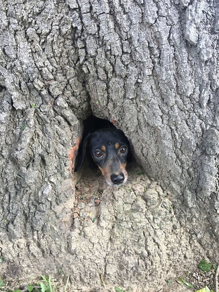 Rocco, a dachshund, peeks his head through the trunk of a tree in Salem, Ky., Thursday, June 1, 2017. A couple of Kentucky State Police troopers and a firefighter have proved that man can be dog's best friend by coming to the rescue of a dachshund trapped inside a tree trunk. (Kentucky State Police via AP)