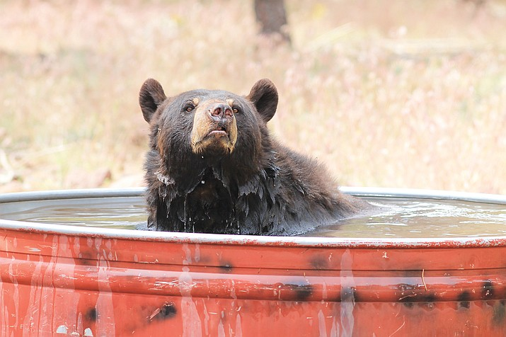 A senior bear at Bearizona enjoys a cool dip in a water tub as temperatures rose to the mid80s last week.
