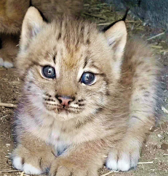 Baby Lynx Drawing Fans At The Zoo The Daily Courier
