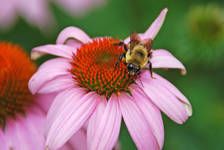 A bee pollinating a coneflower.