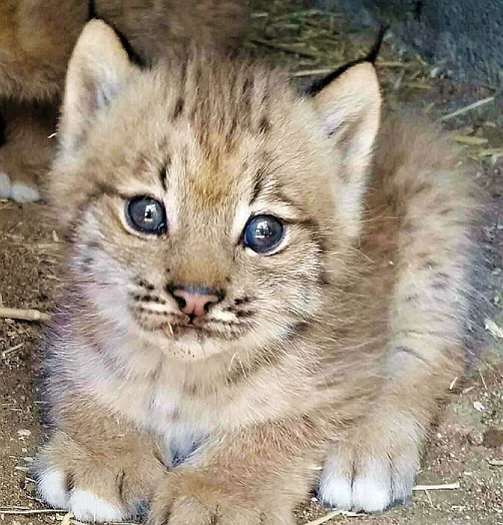 One of the new baby lynx at Heritage Park Zoological Sanctuary in Prescott.