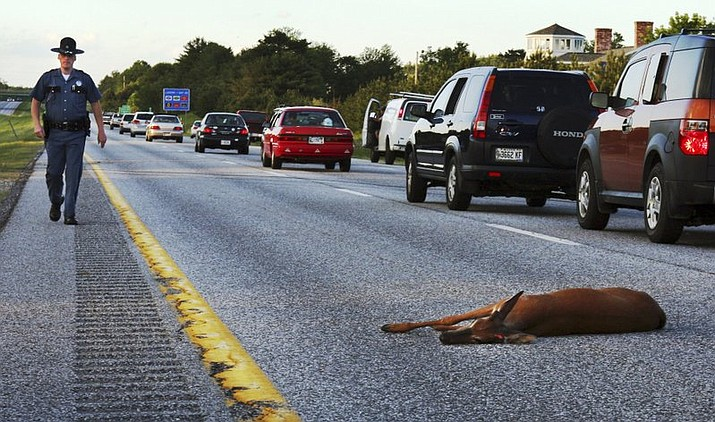 A wounded deer lies in the road after being hit by a car on the northbound lane of Interstate 295 near Freeport, Maine. In Oregon, under a road kill bill passed overwhelmingly by the Legislature and signed by the governor, motorists who crash into the animals can now harvest the meat for human consumption. (AP Photo/Pat Wellenbach, File)