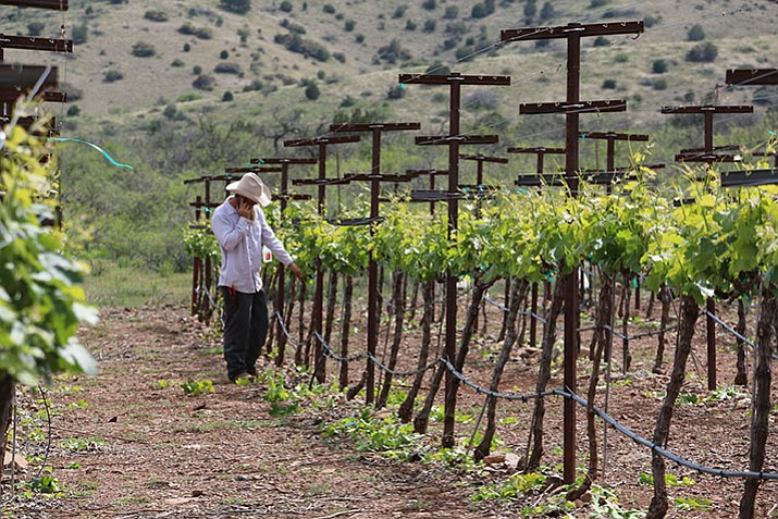 The vineyards at Yavapai College's Southwest Wine Center in Clarkdale. (Courtesy)
