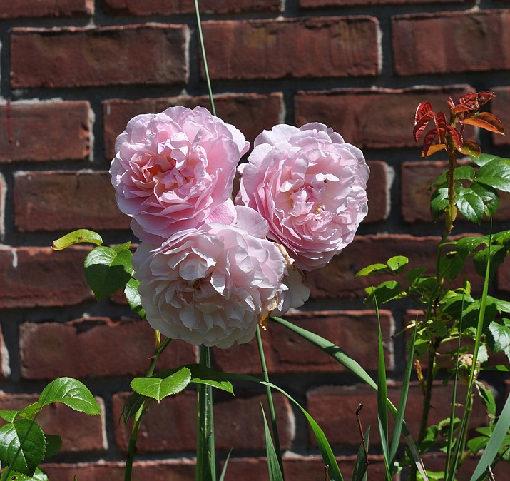 This undated photo shows blossoms of Strawberry Hill rose in New Paltz, N.Y. From breeder David Austin comes Strawberry Hill rose, which is one of many modern shrub roses that captures the look and fragrance of old-fashioned roses with today's sought-after repeat-blooming and disease resistance.