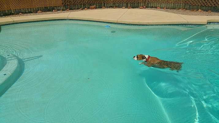 Max, a boxer, takes a refreshing dip in the pool at his Cornville home Wednesday morning. (Photo courtesy of Patty Engler)