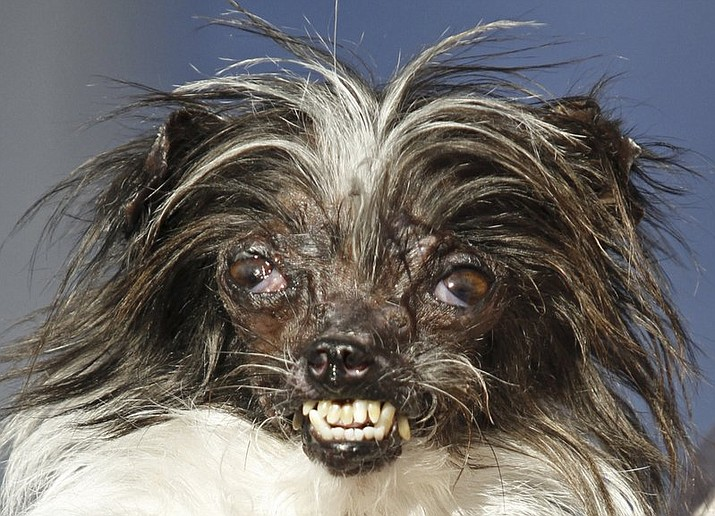 The annual World's Ugliest Dog Contest celebrates homely pooches for their inner beauty in Petaluma, California. This is 2014 winner, Peanut, a 2-year-old mutt.  (AP Photo/George Nikitin, File)