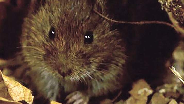 Feds remove Hualapai Mexican Vole from endangered species list