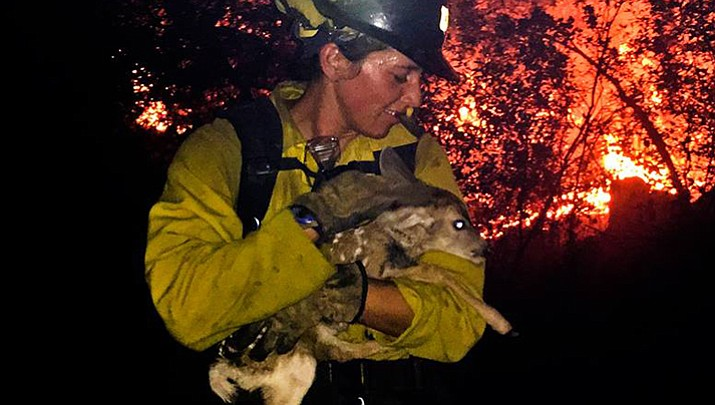 A Flagstaff Hotshot carries a fawn - one of two the wildland firefighters found Friday night - to safety and to be reunited with its mother.