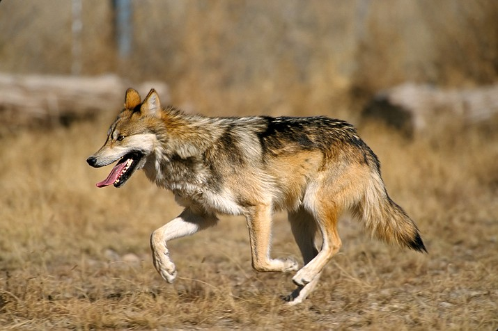 Endangered Mexican wolves roam wilderness areas near the Arizona-New Mexico border.