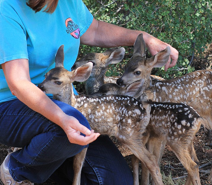 Four fawns were displaced by the Goodwin Fire in early July and relocated by Arizona Game and Fish Department to the Grand Canyon Deer Farm.