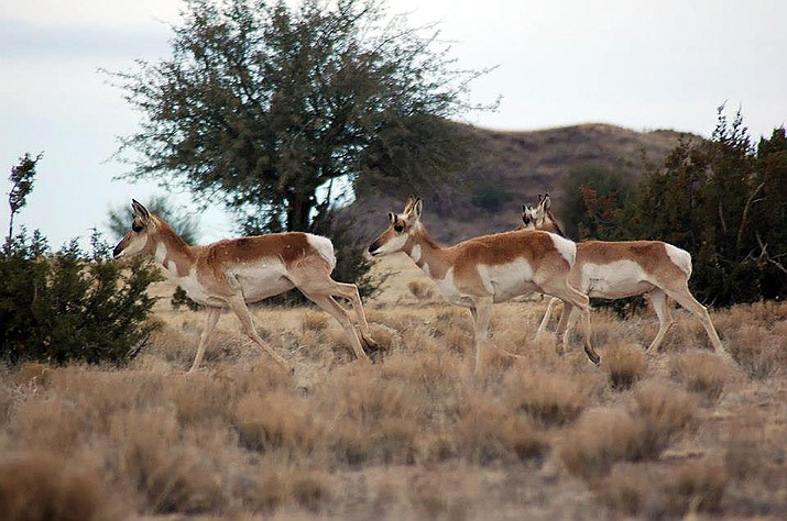 Antelope run north of Haystack and Jack's tank, on the west side of the Yavapai Ranch. (Tim Wiederaenders/Courier, file)
