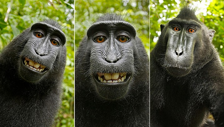 British nature photographer David Slater, whose camera the monkey used, says the British copyright for the photos obtained by his company, Wildlife Personalities Ltd., should be honored worldwide. (Photos by Naruto, crested macaque, Sulawesi, Indonesia)