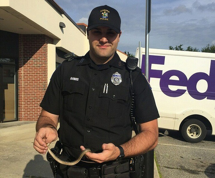 After spotting a snake coiled in his car door, a man told Auburn police he was afraid of snakes and would rather burn his car than touch the garter snake. Officer Travis Barnies removed it and set it free. (Auburn Maine Police Department photo)