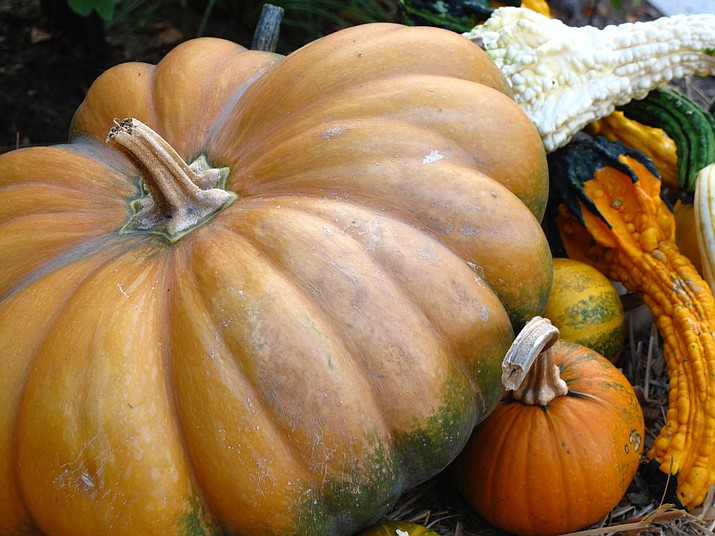 This Sept. 26, 2010 photo shows pumpkins and squash taken at a private garden in Manchester, Vt., which illustrates the kinds of companion plants that can be grown together in Halloween Gardens. Grouping makes it easier to gather them for display or the table. Menu planning can be easier if it starts in the garden. Group your plants according to how they fit in a menu. (Dean Fosdick via AP)