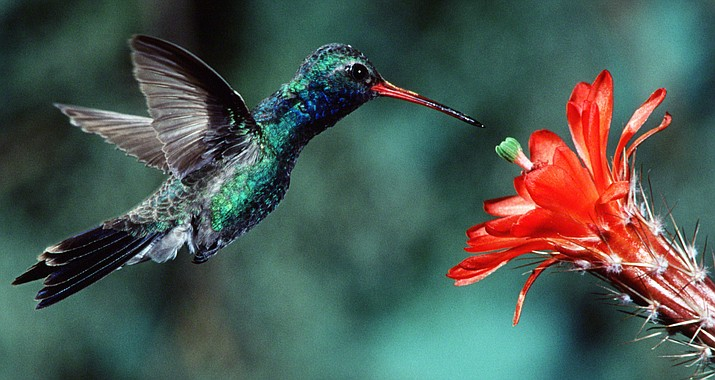 The sixth annual Sedona Hummingbird Festival will fascinate attendees with three enlightening days of presentations by renowned hummingbird experts, self-guided garden tours, exhibits, birding trips, and more.  Photo by Ross Hawkins; courtesy of Sedona Hummingbird Festival