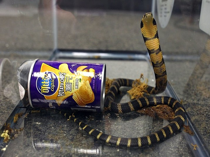 Customs and Border Protection officers found three live king cobra snakes hidden inside potato chip canisters while inspecting a package that was mailed from Hong Kong in March, 2017. Rodrigo Franco was charged Tuesday, July 25, 2017, with illegally importing merchandise. (U.S. Fish and Wildlife via AP)