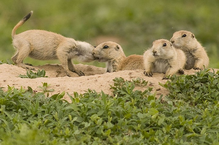 Fleas found in a prairie dog colony in Red Lake have tested positive for Plague.