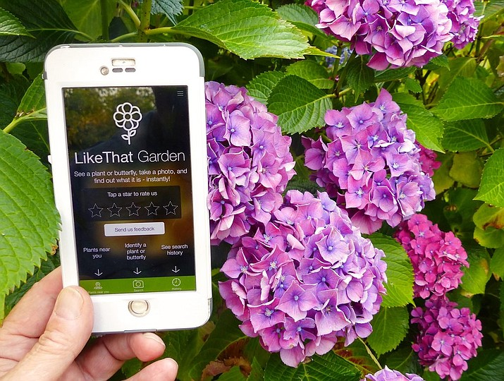"In this Aug. 3, 2017 photo, a gardener in Langley, Wash., is shown holding a mobile phone with app called ""Like That Garden,"" which is one of the many entries in the expanding field of apps designed to instantly identify unknown plants or butterflies from a photo taken by the phone camera. (Dean Fosdick via AP)"