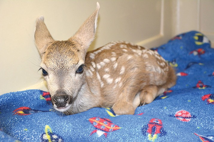 The yet nameless fawn has been relocated to the Keepers of the Wild.
