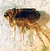 Fleas carrying Bubonic plague not foreign to Yavapai County photo