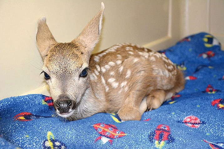 The yet nameless fawn has been relocated to Keepers of the Wild, an animal sanctuary in Valentine, Arizona. (Photo courtesy of Linda Khachatoorian)
