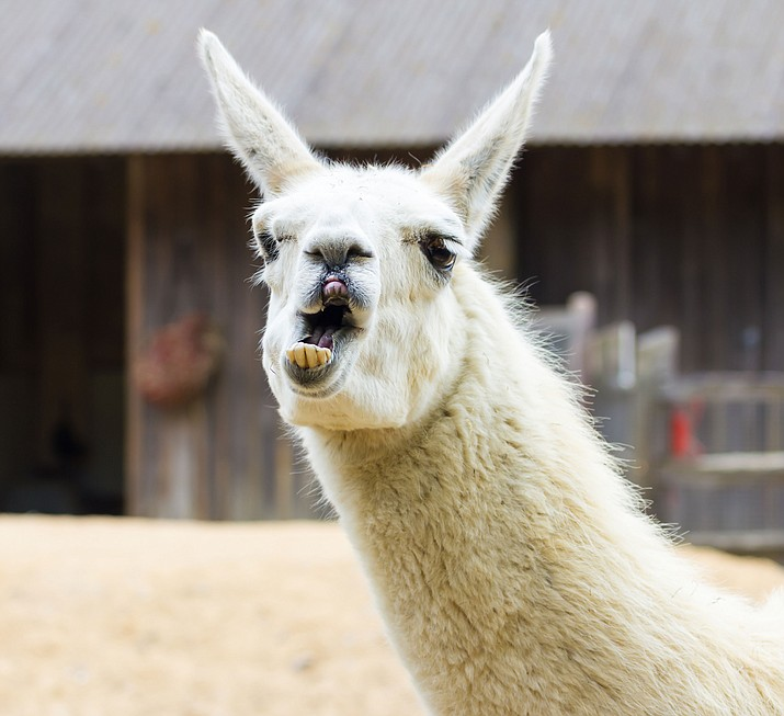 A llama like this one is known as an escape artist.