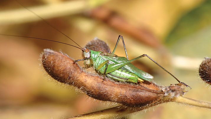 Ask the Contractor: Grasshoppers a fascinating nuisance