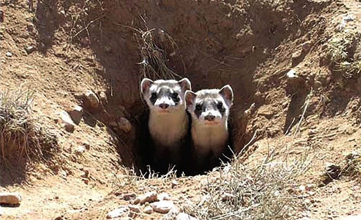 Black-footed ferrets peek out of a hole.