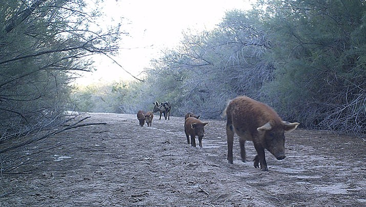 A sow leads a group of young pigs at the Topock Marsh. Feral pigs breed year-round.