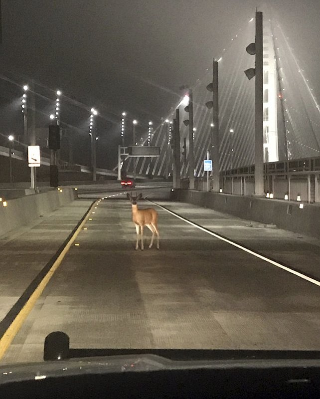 "A doe was caught in the headlights of a CHP cruiser on the San Francisco-Oakland Bay Bridge early Tuesday morning, Aug. 29, 2017. Officers joked on a Twitter post they tried to stop the deer on the bridge ""for toll evasion,"" and that she usually pays the toll but ""today she was a buck short."" (Officer Sean Deise/California Highway Patrol via AP)"