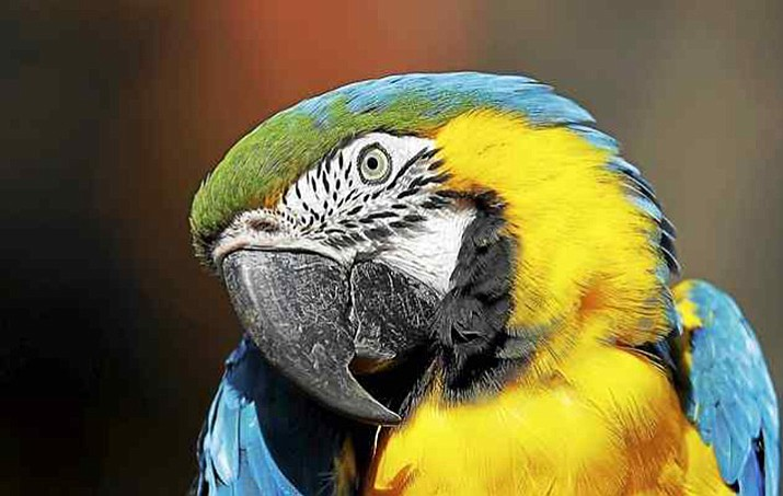 The Columbus Zoo says a macaw that flew away from an open-air exhibit area was safely recaptured three days later after people spotted the bright yellow and blue bird near a golf club a few miles away. (Associated Press file photo)