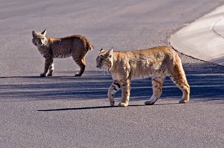 Bobcats are common throughout the state at all elevations. But they especially love rimrock and chaparral areas, and more rural areas where food is readily available, such as the Verde Valley. (Adobe Photo Stock)