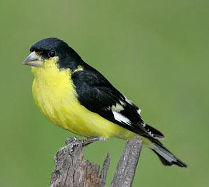 'Texas' lesser goldfinch has a jet-black back.  (Eric Moore/Courtesy)