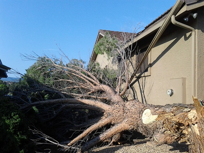 Storms topple trees: A microburst hit the Prescott Golf and Country Club neighborhood in Dewey on Monday, Sept. 4, and felled this sugar pine tree, dropping it between two homes. Power was out for a couple of hours, said resident Martha Duncan, and six other trees around the golf course also were toppled.  (Martha Duncan/Courtesy)